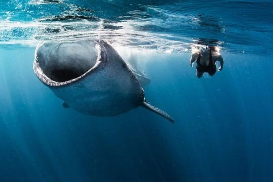 Swim with Whale Sharks and help safeguard the planet's oceans